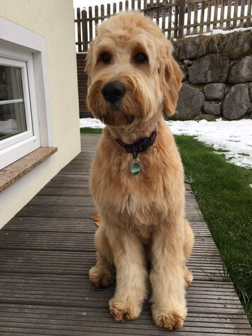 Labradoodle Adult Apricot