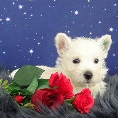 West Highland White Terrier Welpe