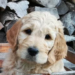 Goldendoodle Welpe